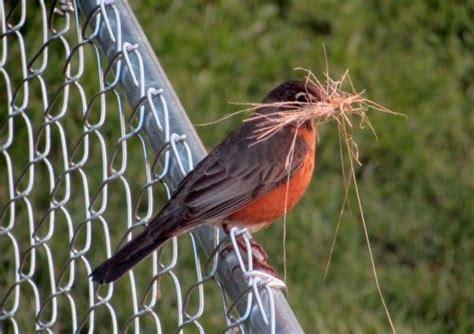robin building nest birds  blooms