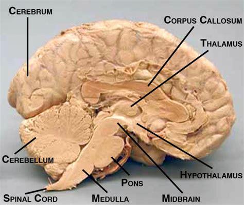 sheep brain anatomy diagram sagital cut sheep brain labeled sheep brain map