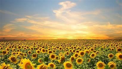 Sunflower Field Wallpapers Wallpaperboat