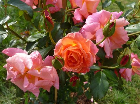 """""""mein Schöner Garten""""  From My Own Garden  Rosen Roses"""