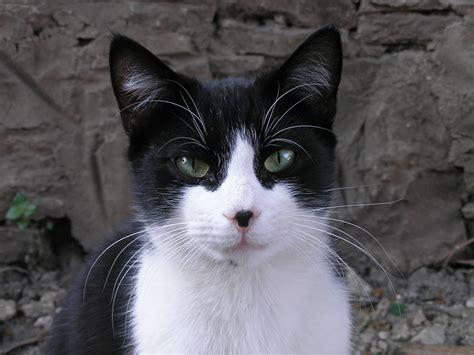 Black And White Cat Pics