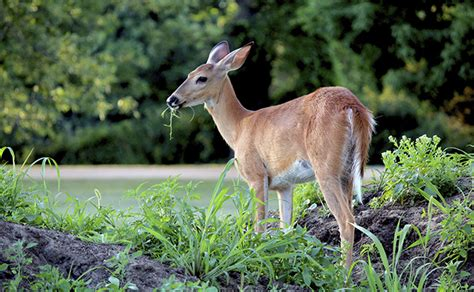 how to keep deer out of vegetable garden how to keep deer out of your garden