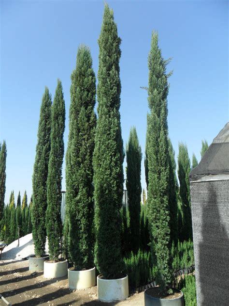 pinos en monterrey