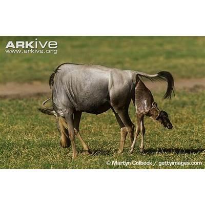Blue wildebeest photo - Connochaetes taurinus G32220