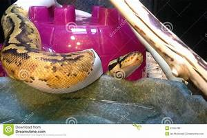 Ball Python Stock Photo - Image: 51695782