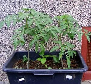 Tomaten Balkon Kübel : meine selbst angezogenen tomaten jk 39 s pflanzenblog ~ Yasmunasinghe.com Haus und Dekorationen