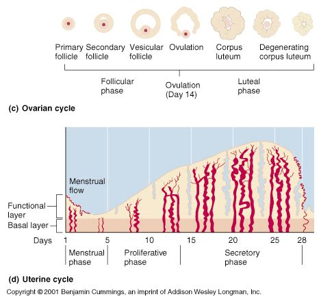 Uterine Wall Shedding Pregnancy by Ch27 Female Reproductive Cycles
