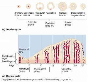 Ch27 Reproductive Hormones