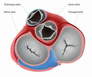Medical Illustration Of The Artificial Heart Valves