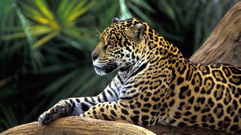Rainforest Animals Wallpaper - jaguar in rainforest wallpapers hd wallpapers