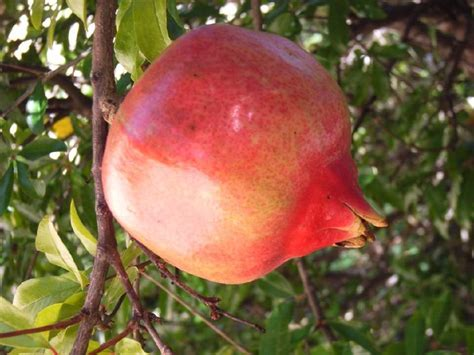 are ornamental plums edible around the garden the examiner