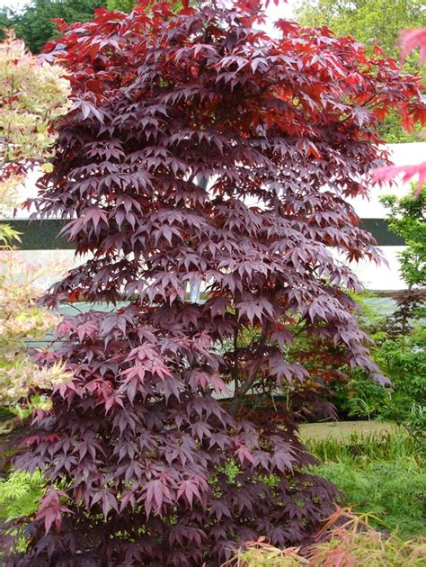 gallery japanese maples  acers acer palmatum
