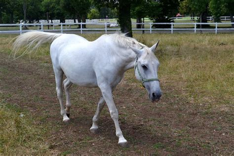 horse famous lipizzaner slovenia karst visiting coast travel horses born turn journal