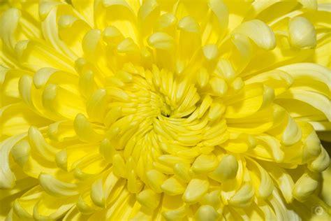 yellow chrysanthemum flower texture high quality