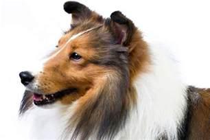 shetland sheepdog sheltie dog breed information