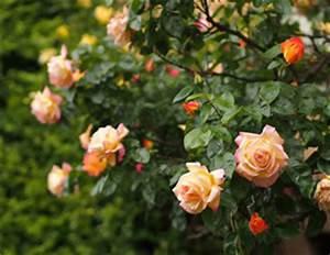 Johannisbeeren Hochstamm Schneiden : englische rosen david austin sorten und pflege ~ Frokenaadalensverden.com Haus und Dekorationen