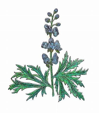 Botanical Herb Clip Clipart Illustration Plant Cliparts