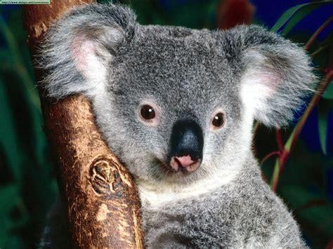 koalas photos