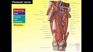 Magdy Said Anatomy Series Lower Limb Front Of Thigh