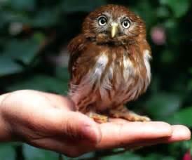 フクロウ:小さいフクロウ 『アカスズメフクロウ』: 美しい物にかこまれたい