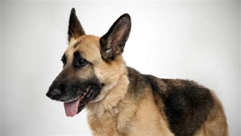 German Police Dog Breeds