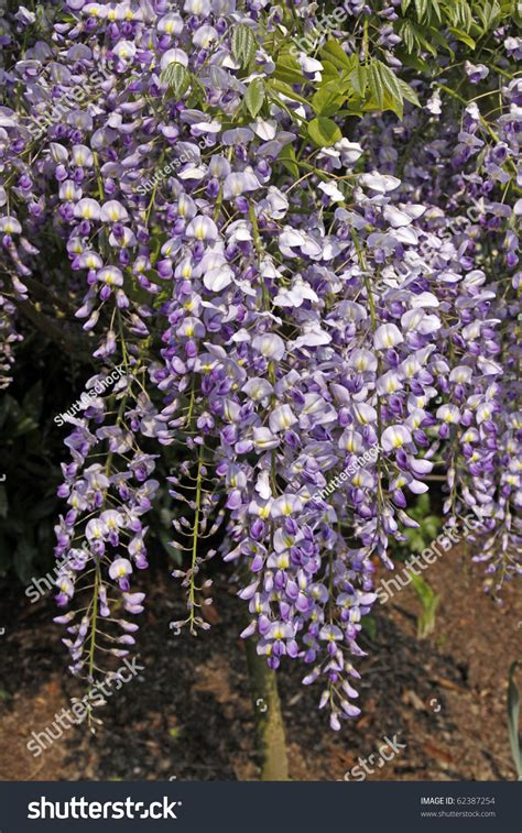 Wisteria Sinensis, Chinese Wisteria  Climbing Plants On A