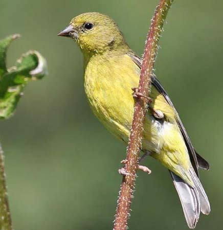 identification keys  tips goldfinches american