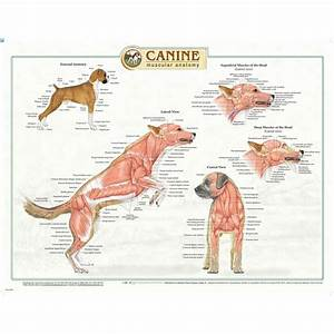 Canine Musculature Anatomy Chart 95250 | Dog Muscles ...