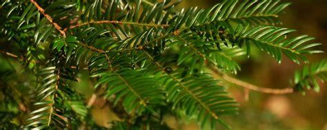 o tannenbaum die geschichte des christbaumes