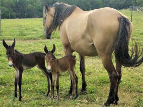 horses mules mule horse pretty twin advantage mother any there rare appaloosa mom why better than clydesdale guardian these babies