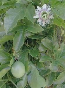 MARACUYA - Passiflora edulis