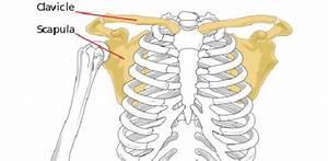 Anatomy Of The Arm Bones