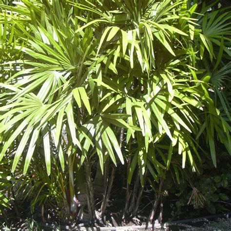 Muda da Palmeira Rafia - Safari Garden