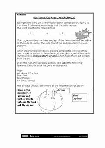 Respiration And Gas Exchange Worksheet For 5th