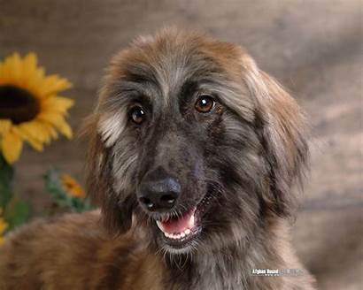 Afghan Hound Dog Wallpapers Dogs Background Breed