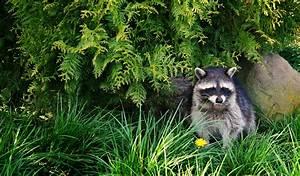 Großes Loch Im Garten Welches Tier : waschb r im garten bek mpfen so werden sie das putzige ~ Lizthompson.info Haus und Dekorationen