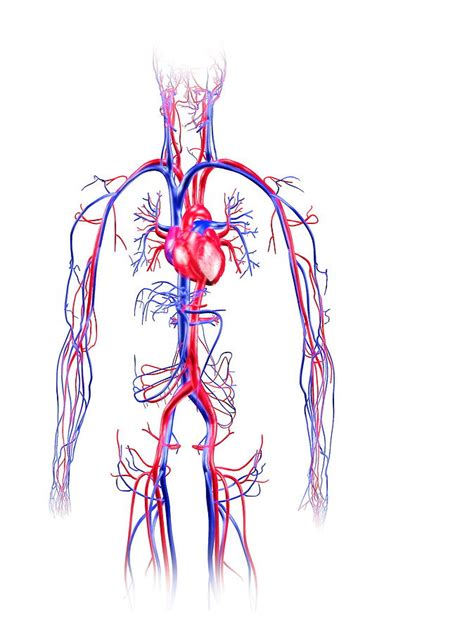Simple Circulatory System Diagram, Simple, Free Engine Image For User Manual Download