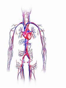 Human Circulatory System Photograph By Pasieka