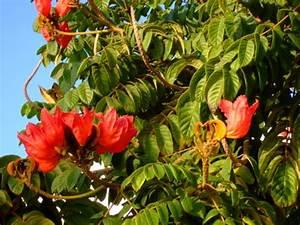 Baum Mit Blüten : teneriffa baum mit roten bl ten spathodea campanulata ~ Frokenaadalensverden.com Haus und Dekorationen