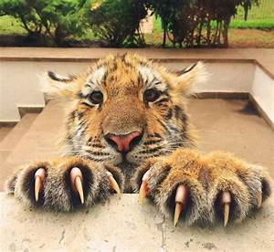 Tiger Cub with Claws Out | LuvBat