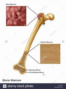 Illustration Of Bone Marrow  Top Diagram Shows Red Bone