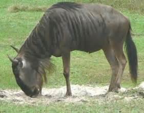 South Africa Animals Wildebeests