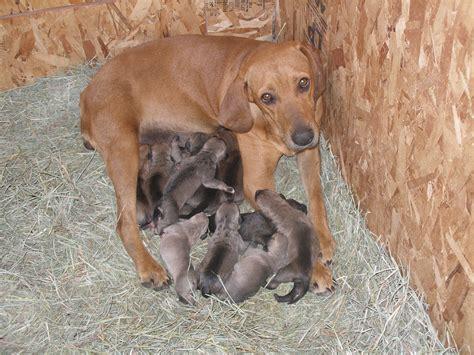 treeing cur puppies goldenacresdogscom