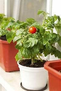 Aussaat Auf Der Fensterbank : tomaten auf der fensterbank so gedeihen sie pr chtig ~ Whattoseeinmadrid.com Haus und Dekorationen