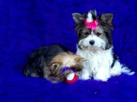 Multi Champion Yorkie Puppy For Sale Biewer Puppy For Sale Yorkie Breeders You