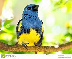 Blue And Yellow Finch Bird Looking Up Stock Image - Image ...