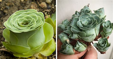 what are succulents rose succulents are a thing and they look straight out of a fairytale bored panda