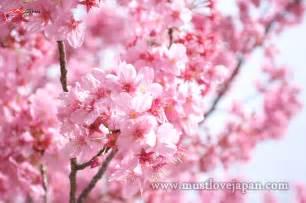 Japan Cherry Blossom Flower