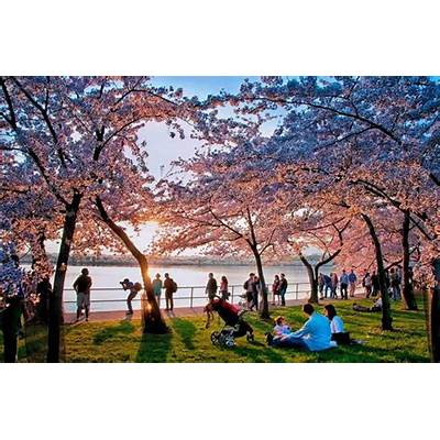 National Cherry Blossom Festival18 Mar - 10 Apr 2016