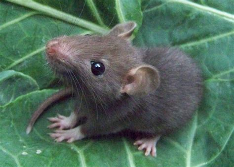 picture of a rat rats pictures pics images and photos for your tattoo inspiration